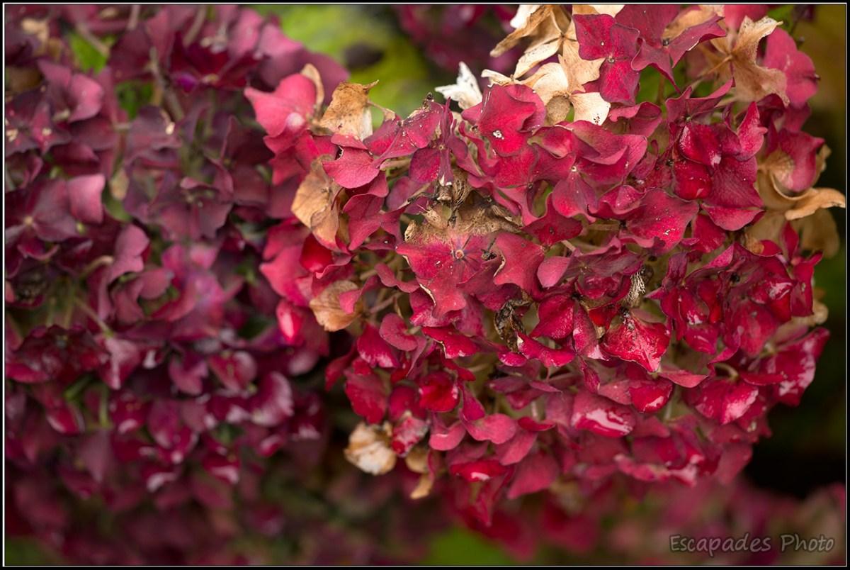 hortensia : Flamboyance