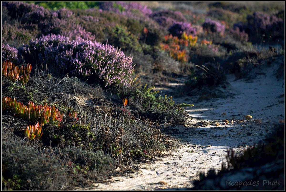 Cabo Sardão - Bruyère d'automne et griffe de sorcière