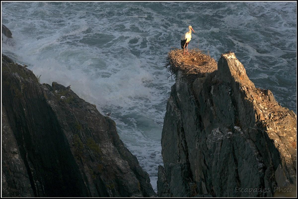 Cabo Sardão - cigogne blanche sur la falaise