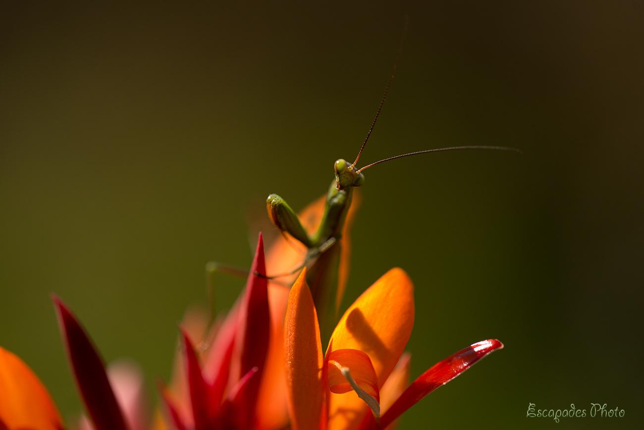 Read more about the article Insectes insolites au jardin, la mante religieuse