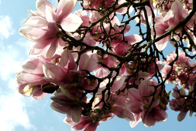 Magnolienblüten in der Wilhelma