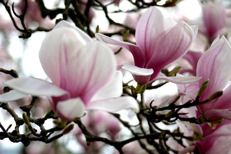 Ein Meer von Magnolienblüten in weiß und rosa