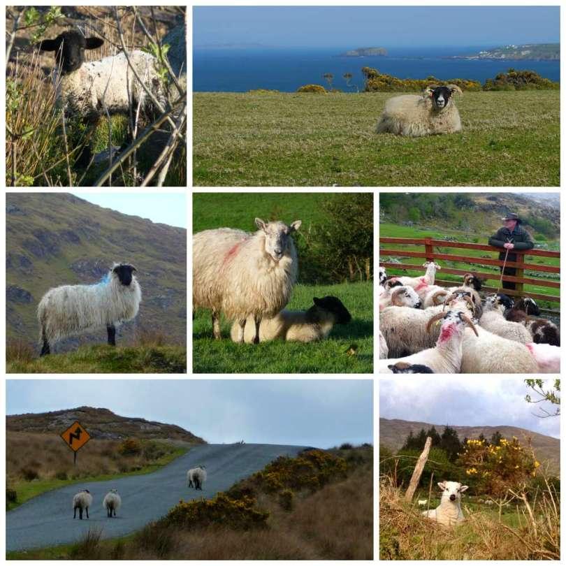 Irland's Schafe