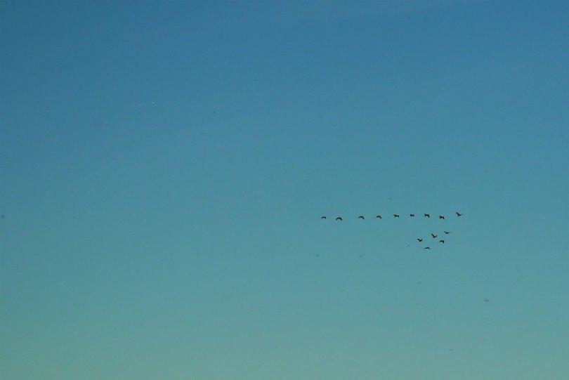 Zugvögel über Dänemark