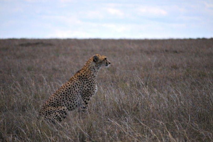 Auf Safari in Afrika: Gepard in der Serengeti