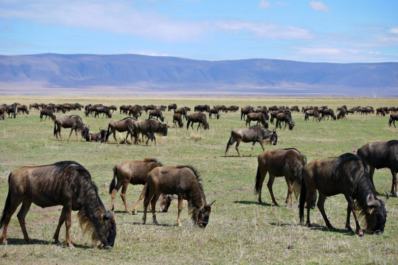 Gnus im Ngorongoro Krater, Afrika