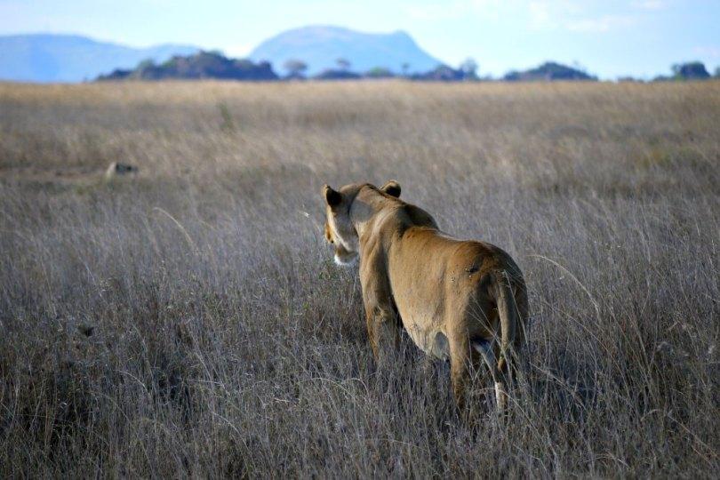 Löwin in der Serengeti (Tansania / Afrika)