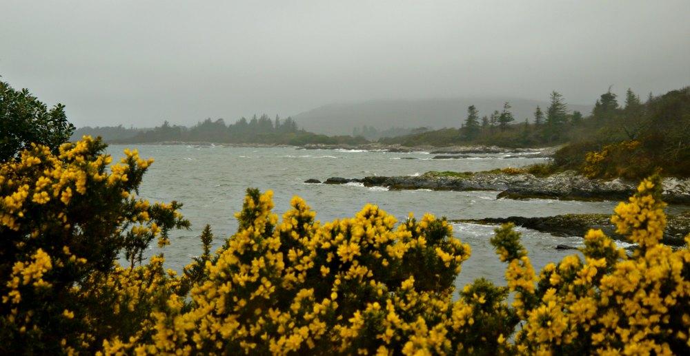 Ginster in der Bucht von Kenmare, Irland