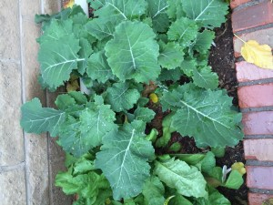 Collards!  The collards grew so well, but we learned that you need to eat them early or they get woody tasting.