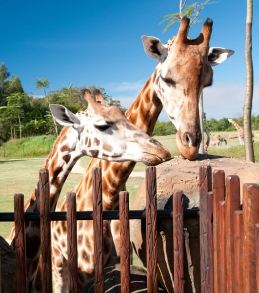 Australia Zoo 3629: Giraffes