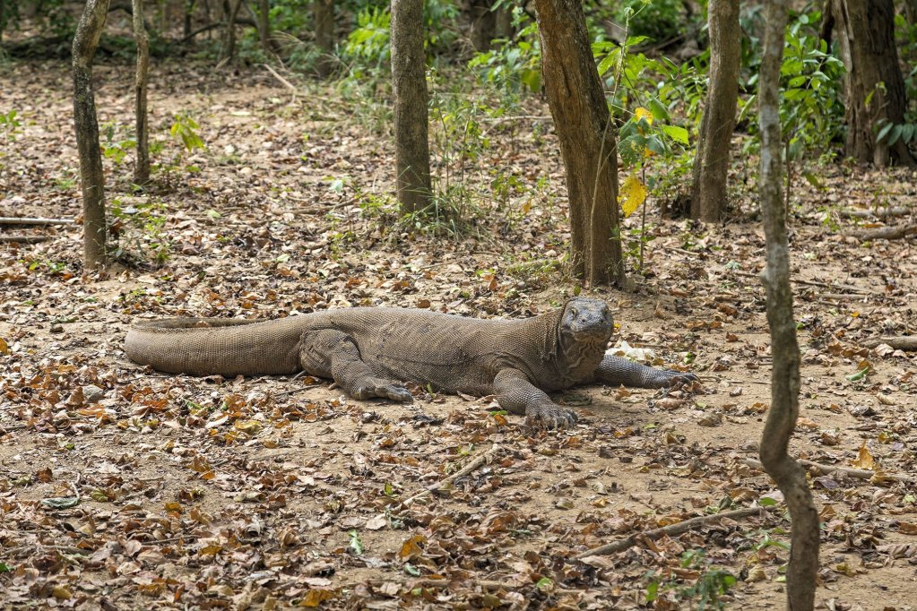 A Large Komodo Dragon at the Komodo National Park in Indonesia.