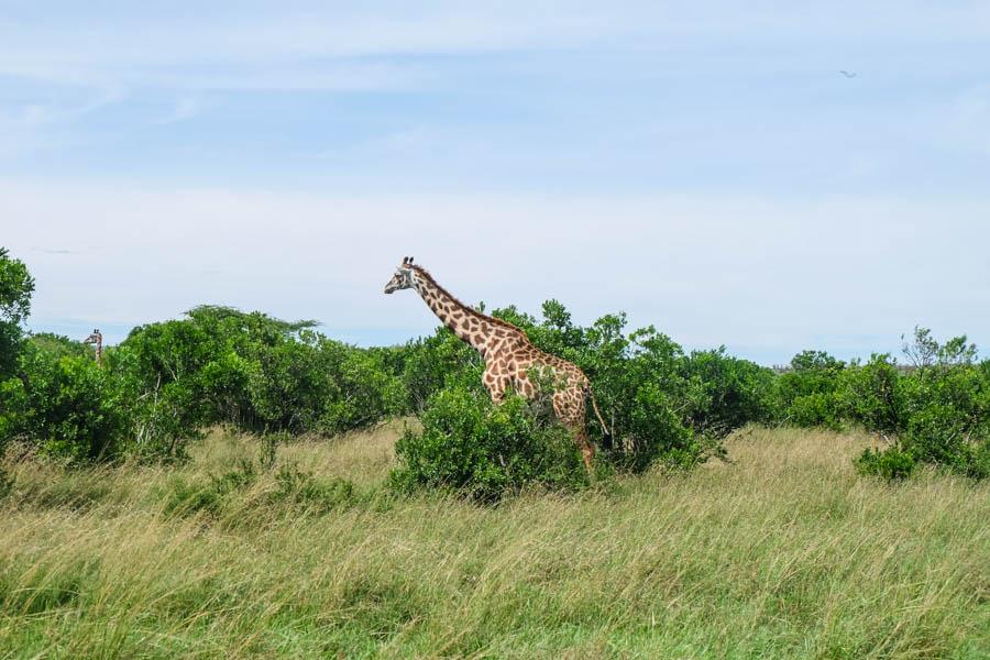 A giraffe at Masai Mara National Reserve