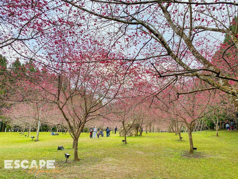 Cherry Blossoms at Formosan Aboriginal Culture Village