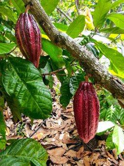 El fruto listo para la cosecha. Foto: CP