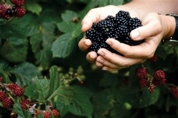 Cuttaway Creek Blackberries