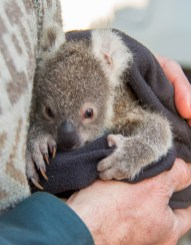 Koala - High Res_Pouch young is cuddled