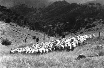 SHEEP ON OAKWOOD 1960s