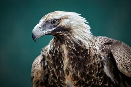 WT-Eagles-0195-30cm