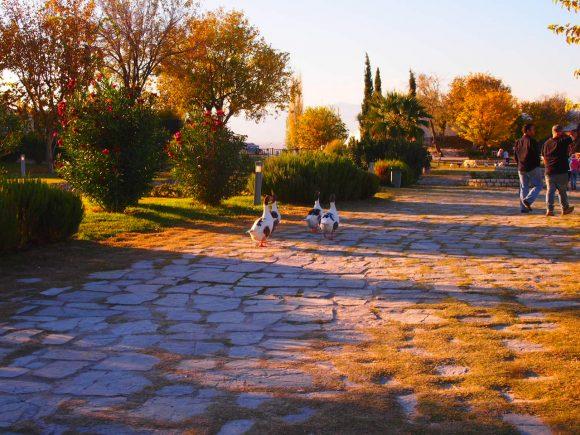 Pamukkale viaje inolvidable - Guía de viaje gansos caminando en parque