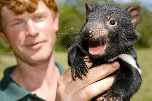 Photo from Tasmanian Devil Conservation Project