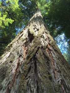 Beautiful redwood