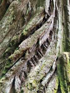 Bark of a redwood tree