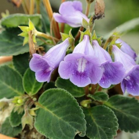 Sinningia speciosa, winter blooming houseplants