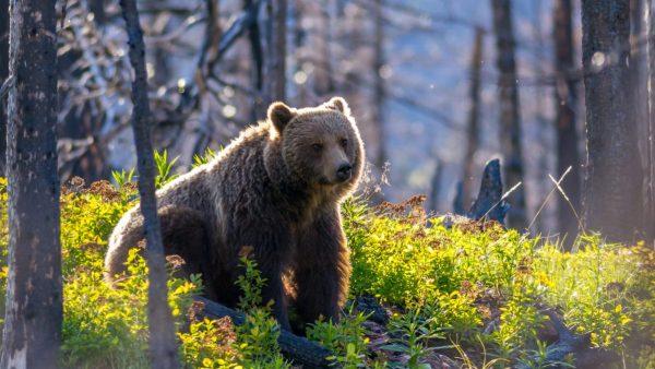 bear, surviving the wild