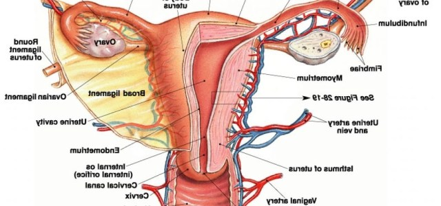 Female Reproduction System: Function, Parts Name, Picture, Diagram ...