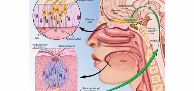 Sense of smell diagram definition works and five senses eschool sense of smell diagram definition works and five senses ccuart Choice Image