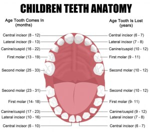 Functions and names of the teeth