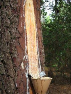 Eploitation de la résine dans le pinhadar - Care sur un pin gemmé