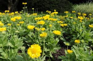 Yellow Basket Flowers