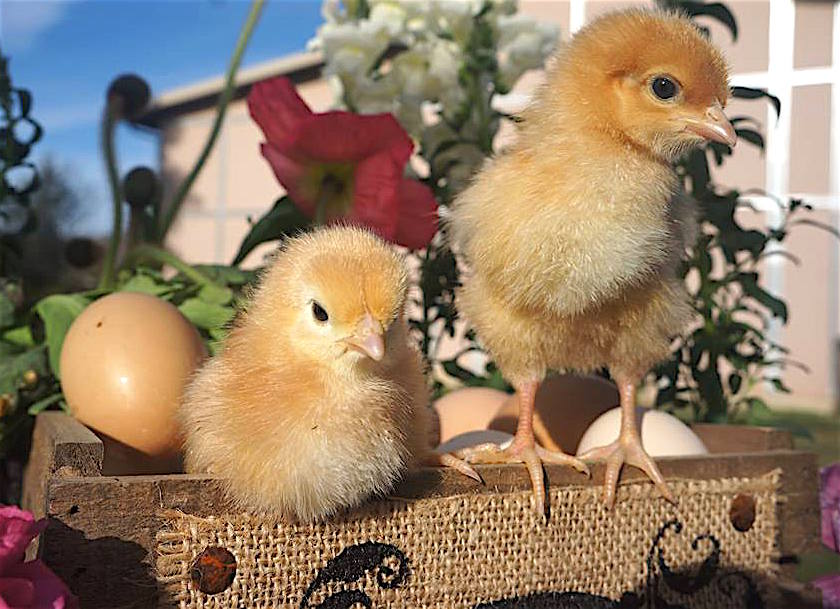 Deer Springs Chick Days 2016 raises some questions.
