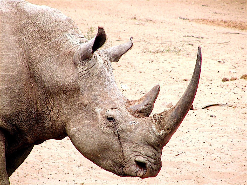 Rhino horn is the EXACT same substance as toenails and hair, according to US Fish and Wildlife officials.