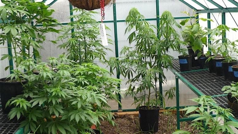 Sd County Farmers Let Them Grow Pot Escondido Grapevine