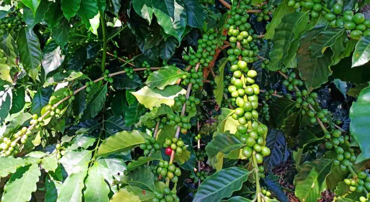 PRONOSTICAN EXCELENTE COSECHA DE CAFÉ 2021