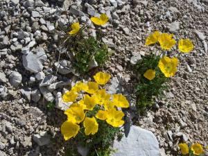 Papaveri Alpini numerosi sui ghiaioni