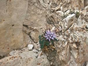 Raponzolo di roccia dolomitica