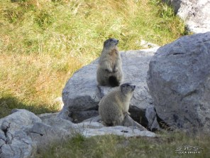 Fischianti Marmotte