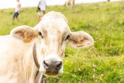 vacca al pascolo in alpeggio monte cesen