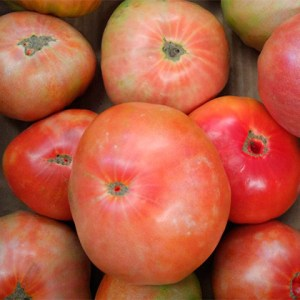 tomate optima bio