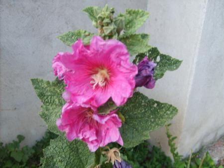 Ружите цъфтят