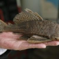 Nueva especie de pez en Colombia. Con foto.