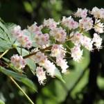 castaño blanco flor de bach para la paz mental