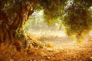 olivo bach vitalidad