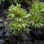 escleranto flor de bach para la decisión