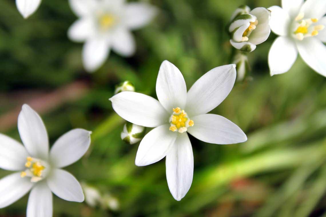 Luz Pura Floral Estrella de Belén. Curso online