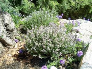 tomillo-2-herboristeria-xativa