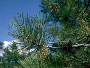 pine_bach